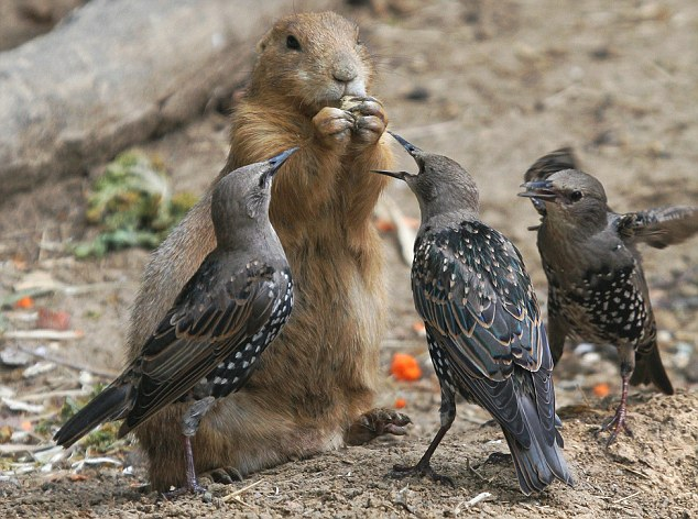 http://gellada.ru/i/2009/10/birds-vs-prairie-dog-01.jpg