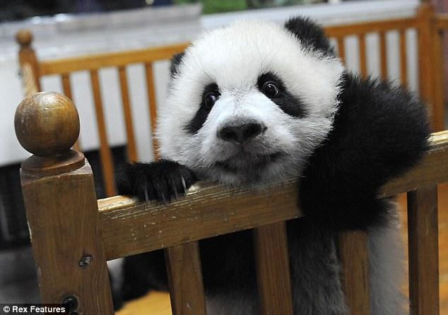 cute-panda-02.jpg