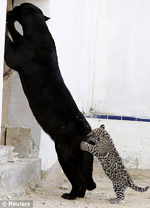 http://gellada.ru/i/2010/02/jaguar-cub-06.jpg
