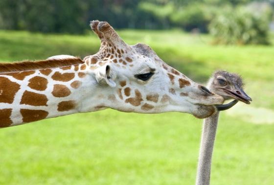 http://gellada.ru/i/2010/05/giraffes-and-ostriches-01.jpg